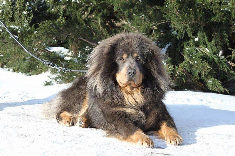 Pastor del Cáucaso, un mastín con un carácter fuerte y confiable, excelente perro guardián
