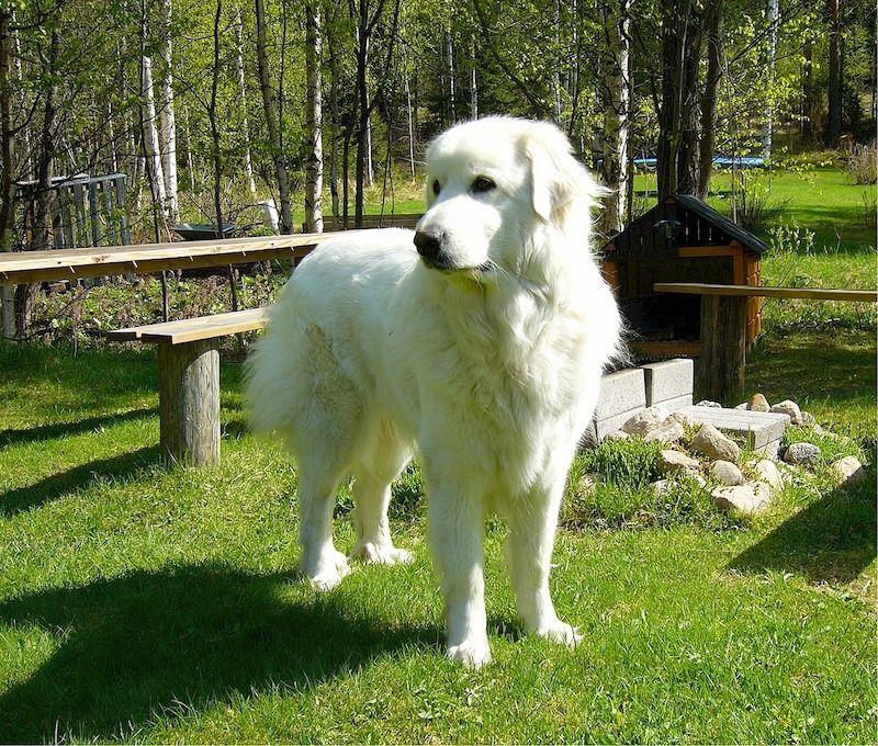 """El perro de Montaña del Pirineo. originario de Francia también se le conoce como """"Grande de los Pirineos"""""""