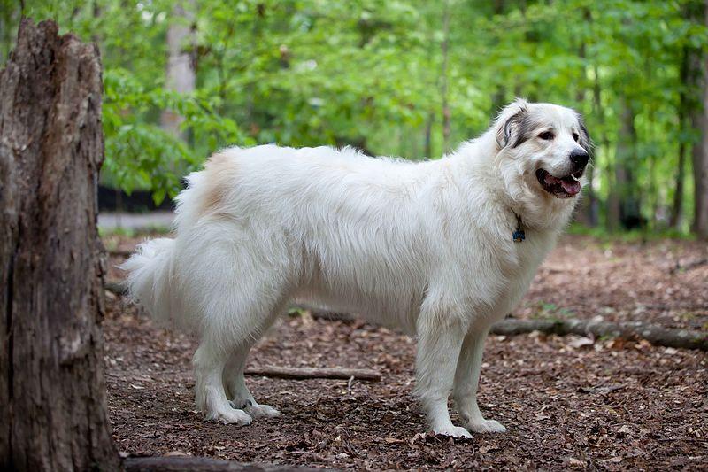 El Perro de Montaña de los Pirineos, excelente mascota y guardián de rebaños
