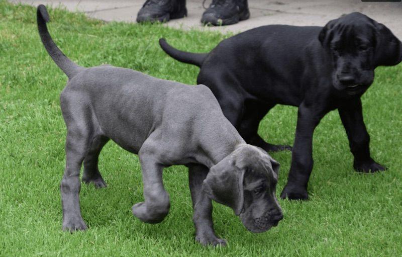 Cachorros de mastín napolitano