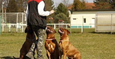 Entrenando perros mastín