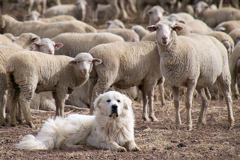 Mastín guardando ovejas